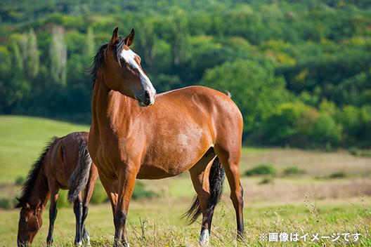 馬セラミド